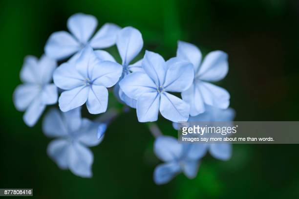 A mini bouquet of plumbago photographed in its shrub. Close up, macro.