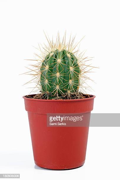 Mini cactus in pots