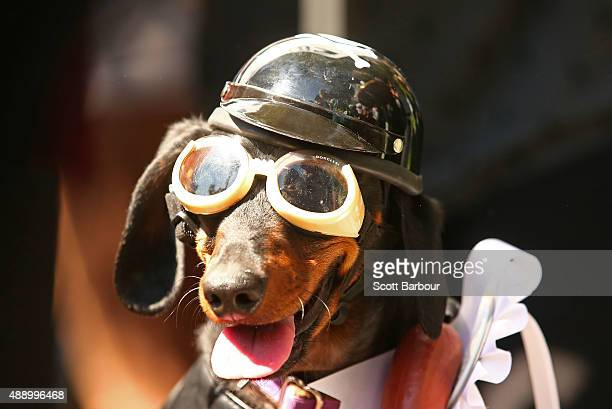 Mini dachshund Chilli dressed as a biker dog competes in the Hophaus Southgate Inaugural Best Dressed Dachshund competition on September 19 2015 in...