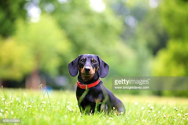 Mini Dachshund Dog sitting in Grass