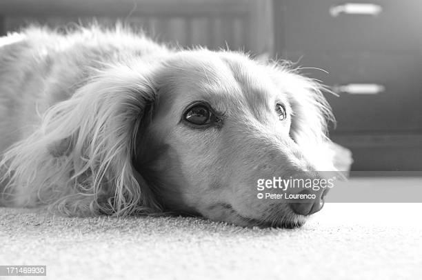 mini dachshund - peter lourenco stock-fotos und bilder
