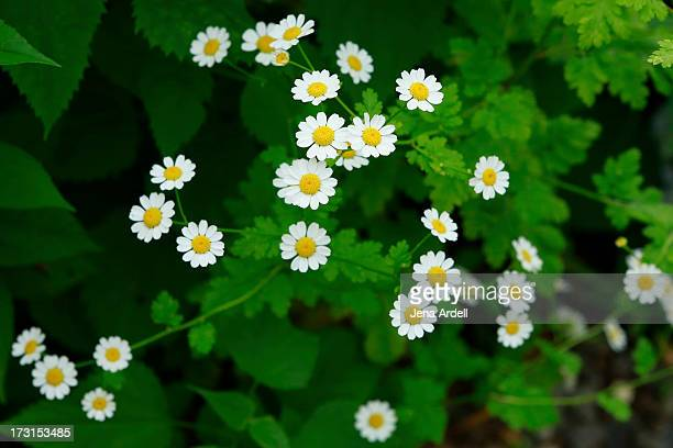 Mini Daisy Patch in Backyard Garden