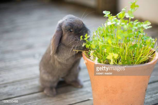 mini lop eared rabbit eating herbs - garden stock pictures, royalty-free photos & images