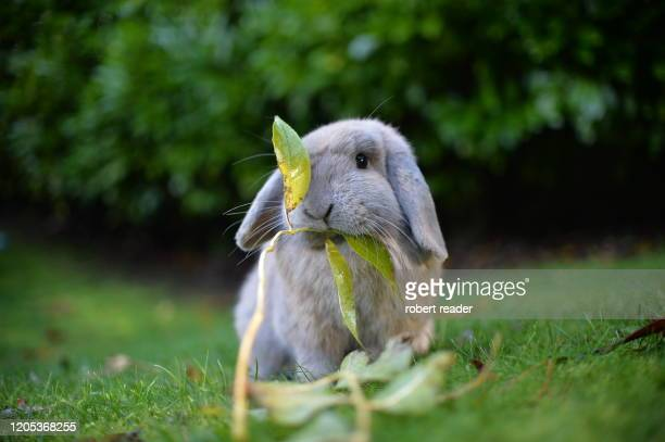 mini lop eared rabbit eating leaves - grey stock pictures, royalty-free photos & images