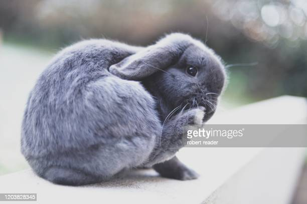 mini lop eared rabbit - grey stock pictures, royalty-free photos & images