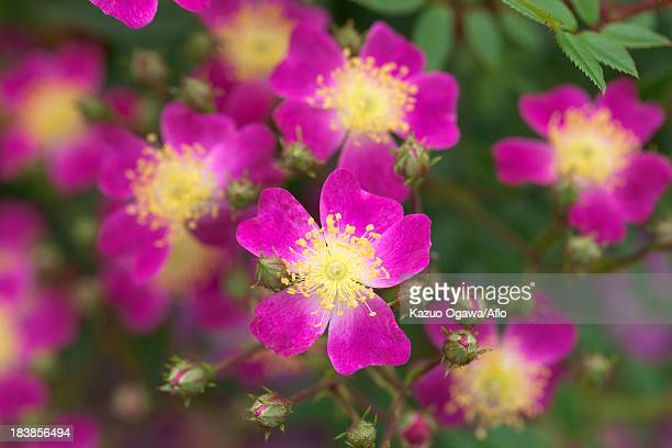 mini rose flowers - laura ashley stock pictures, royalty-free photos & images