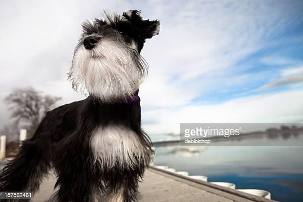 Mini Schnauzer Puppy Standing Tall