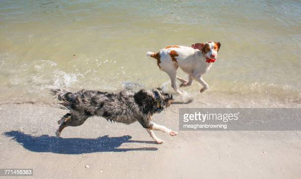 miniature australia shepherd dog and brittany spaniel dog running along the beach - brittany spaniel stock pictures, royalty-free photos & images