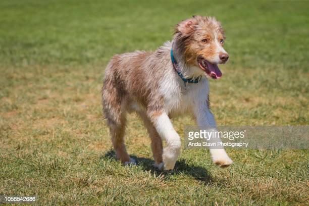 miniature australian shepard - australian shepherd puppies stock pictures, royalty-free photos & images