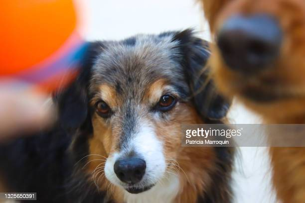 miniature australian shepherd eyes a ball - australian shepherd herding stock pictures, royalty-free photos & images