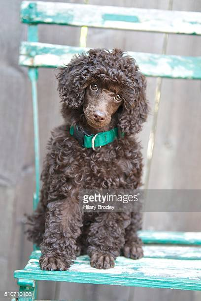 miniature chocolate poodle puppy - miniature poodle stock photos and pictures