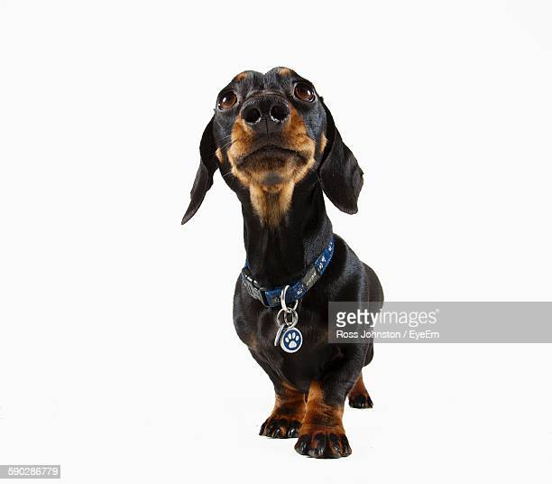 Miniature Dachshund Against White Background