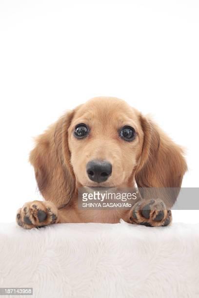 Miniature dachshund pet