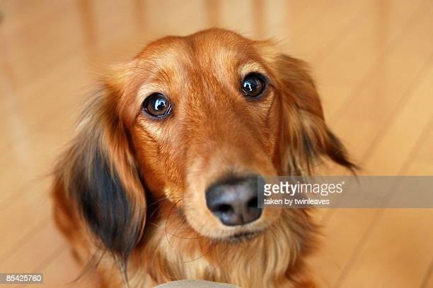 miniature dachshund - ダックスフント ストックフォトと画像