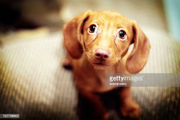 miniature dachshund puppy, sad puppy dog eyes