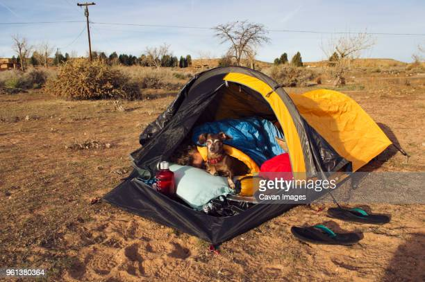 Miniature Dachshund sitting by man sleeping in tent on field