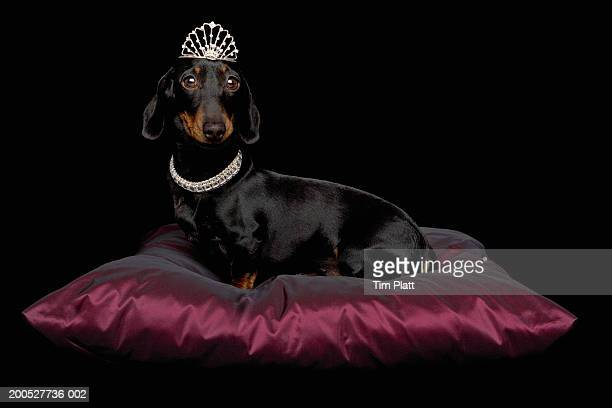 miniature dachshund wearing diamante collar and tiara on silk cushion in studio - bling bling stock pictures, royalty-free photos & images