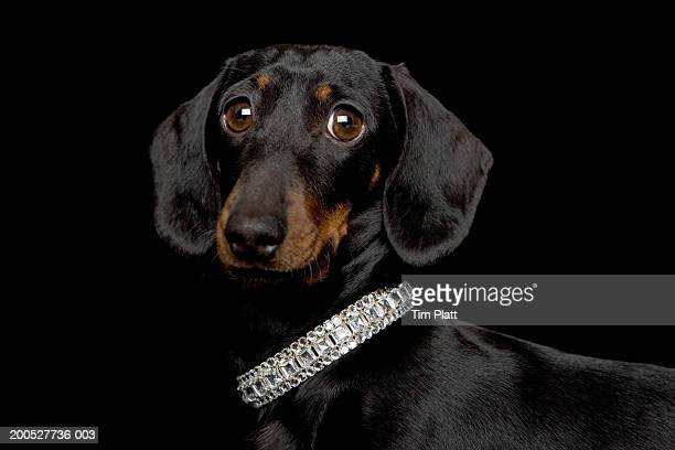 miniature dachshund wearing diamante collar in studio, close-up - bling bling stock pictures, royalty-free photos & images