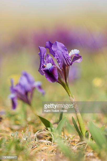 miniature dwarf bearded iris (iris pumila), purple, thenauriegel nature reserve near breitenbrunn, burgenland, austria - bearded iris stock pictures, royalty-free photos & images