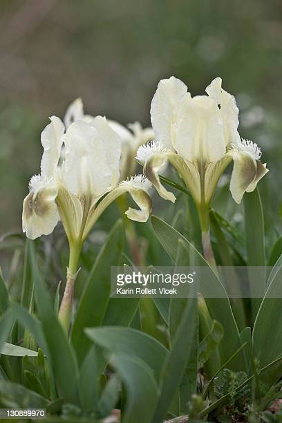 miniature dwarf bearded iris (iris pumila), white, eichkogel nature reserve near moedling, lower austria - bearded iris stock pictures, royalty-free photos & images