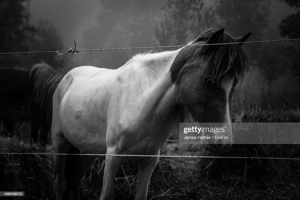 Miniature Horse On Field By Fence : Stock Photo