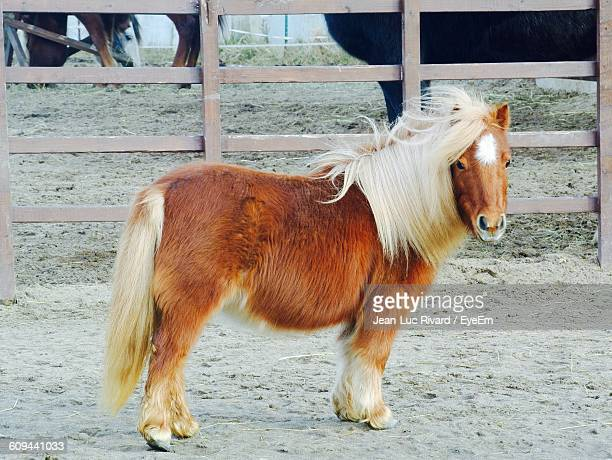 60 Top Miniature Horse Pictures Photos Images Getty Images