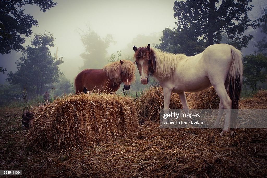 Miniature Horses On Field By Hay : Stock Photo