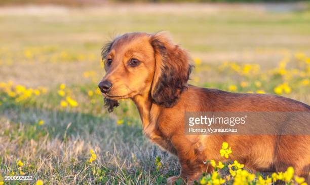 miniature long haired dachshund - long haired dachshund stock photos and pictures