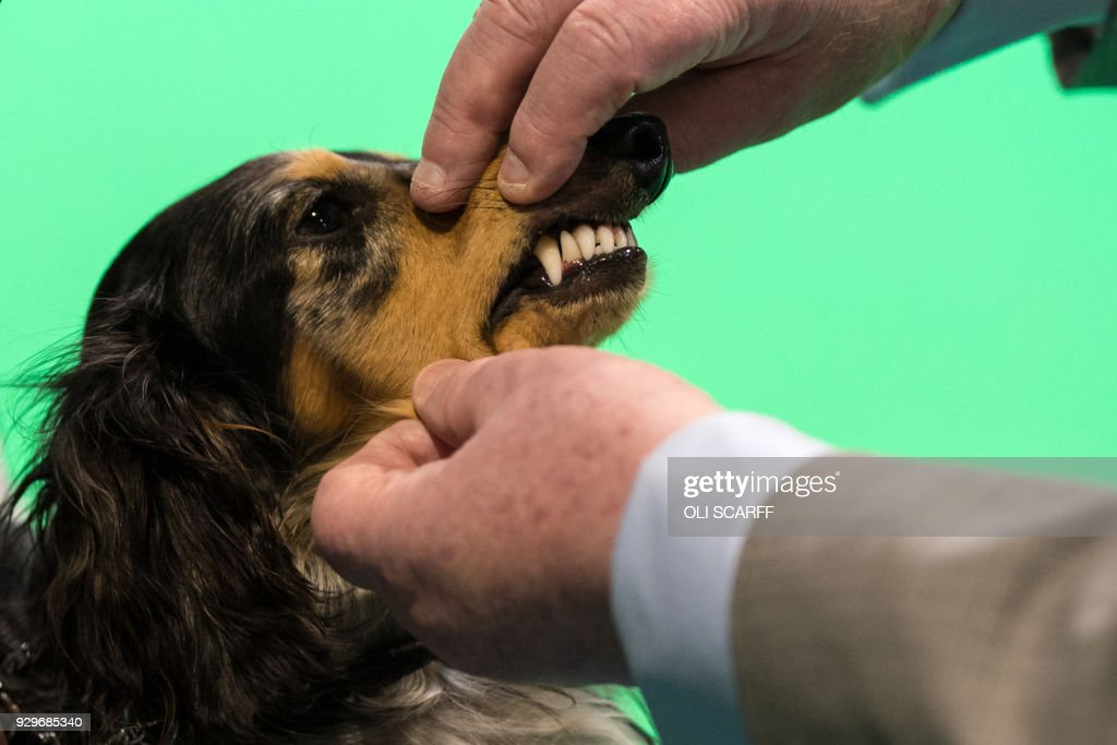 A Miniature Long-Haired Dachshund is judged on the second day of the Crufts dog show at the National Exhibition Centre in Birmingham, central England, on March 9, 2018. /