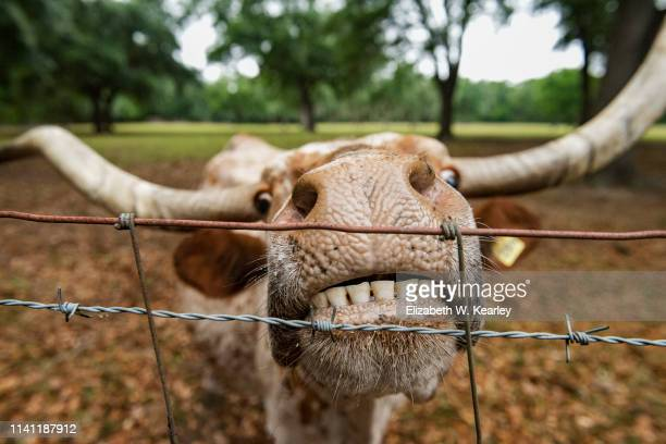 miniature longhorn steer - texas longhorn cattle stock photos and pictures