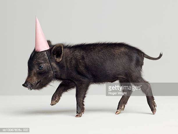 Miniature piglet wearing party hat, side view, studio shot