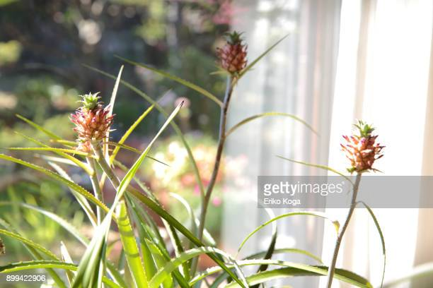 miniature pineapples growing in room - bromeliaceae stock pictures, royalty-free photos & images