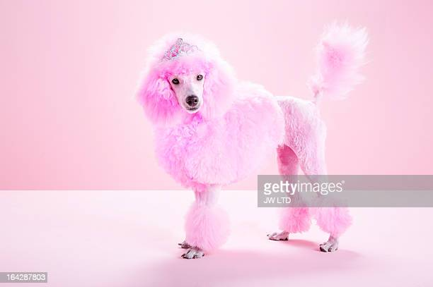 miniature pink poodle, pink poodle,studio - pink stock pictures, royalty-free photos & images