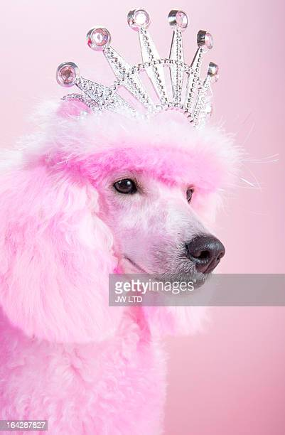 miniature pink poodle,pink poodle, wearing tiara - miniature poodle stock photos and pictures