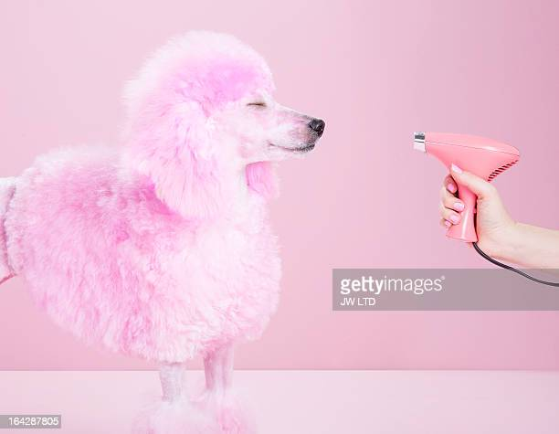 miniature pink poodle,poodle, pink pampered poodle - indulgence stock pictures, royalty-free photos & images
