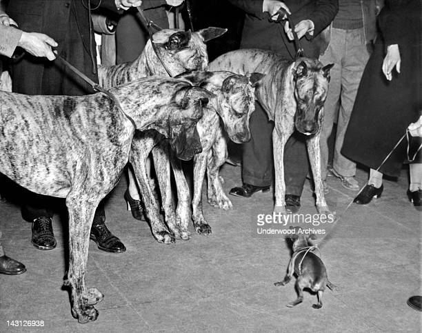 A Miniature Pinscher does its best to look brave in front of four Great Danes at the Westminster Kennel Club show at Madison Square Garden New York...