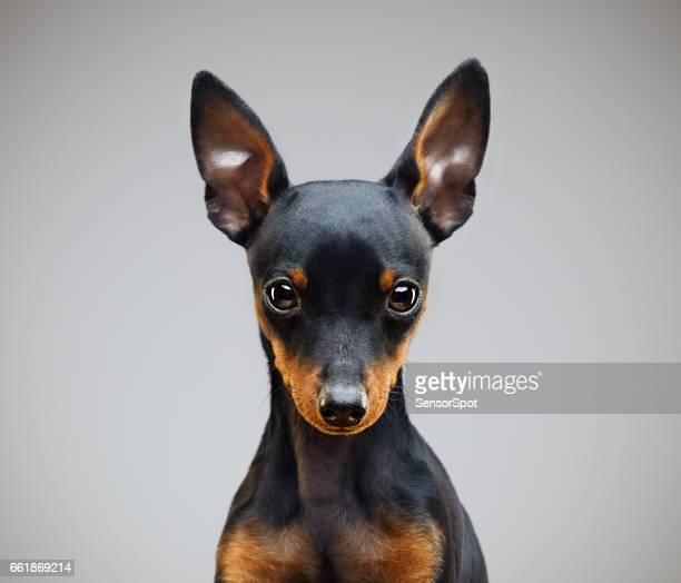Dwergpinscher hond in studio