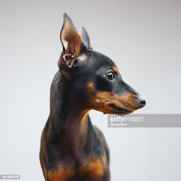 miniature pinscher dog looking away - seeing eye dog stock photos and pictures