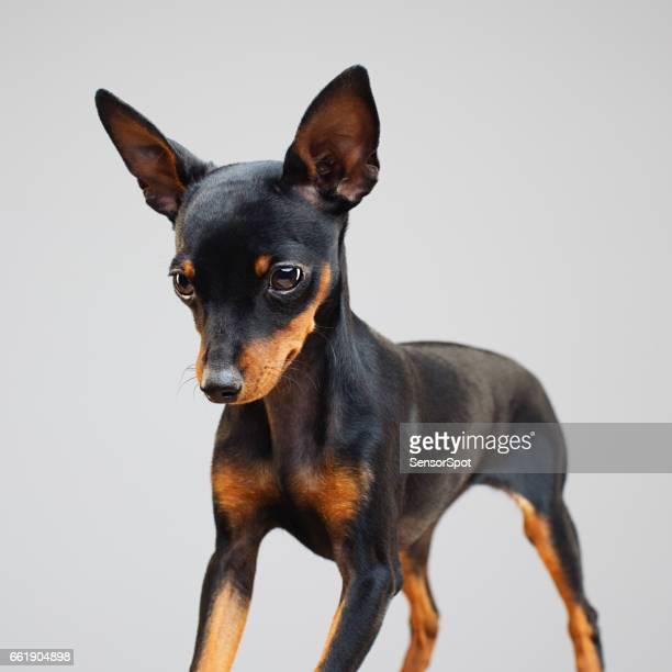miniature pinscher dog looking down - miniature pinscher stock photos and pictures