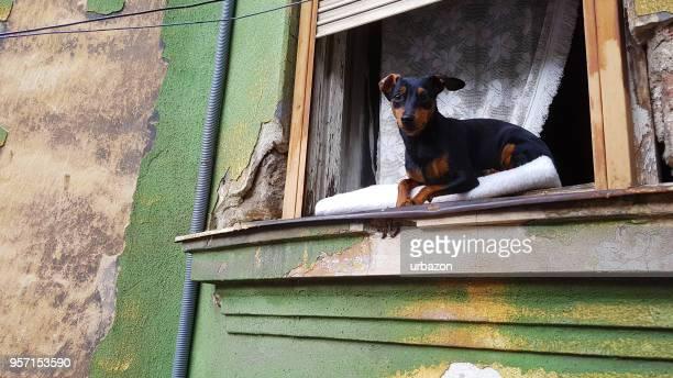 miniature pinscher dog on window - pinscher nano foto e immagini stock