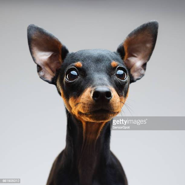 Miniature pinscher dog portrait