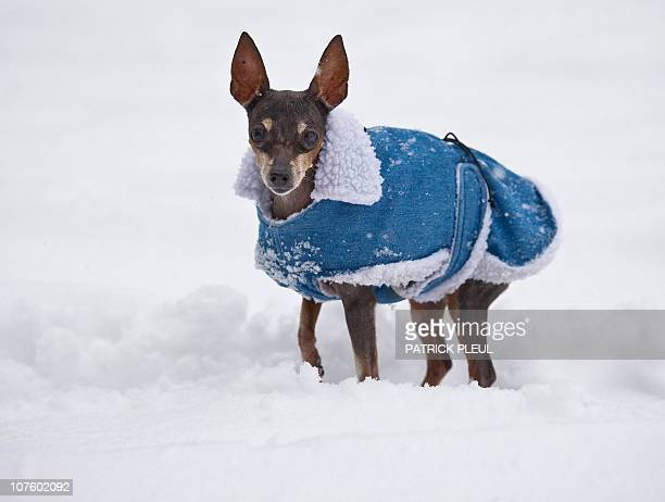 Miniature Pinscher Jule wears a coat as she stands in fresh fallen snow in Cottbus eastern Germany on December 9 2010 Winter brought up to 15...