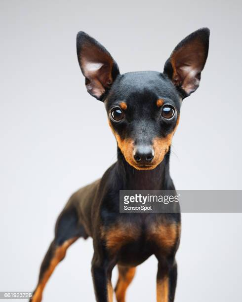 Miniature pinscher puppy dog on grey background