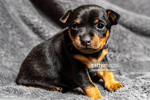 miniature pinscher puppy - gunnar örn árnason stock pictures, royalty-free photos & images
