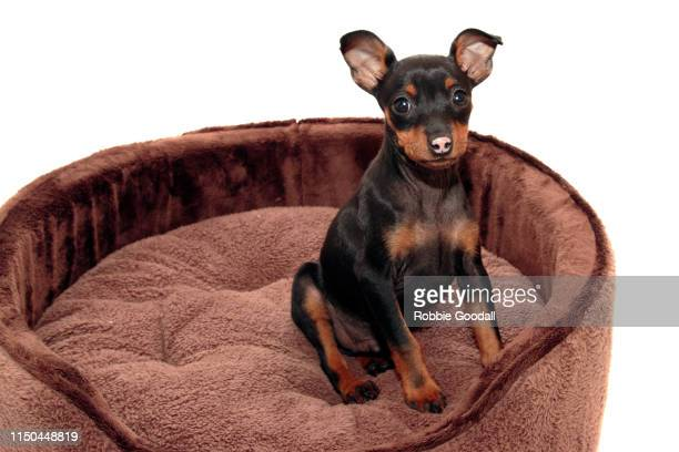 miniature pinscher puppy sitting in a big brown dog bed. - miniature pinscher stock photos and pictures