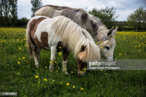 miniature ponies - donkey stock pictures, royalty-free photos & images