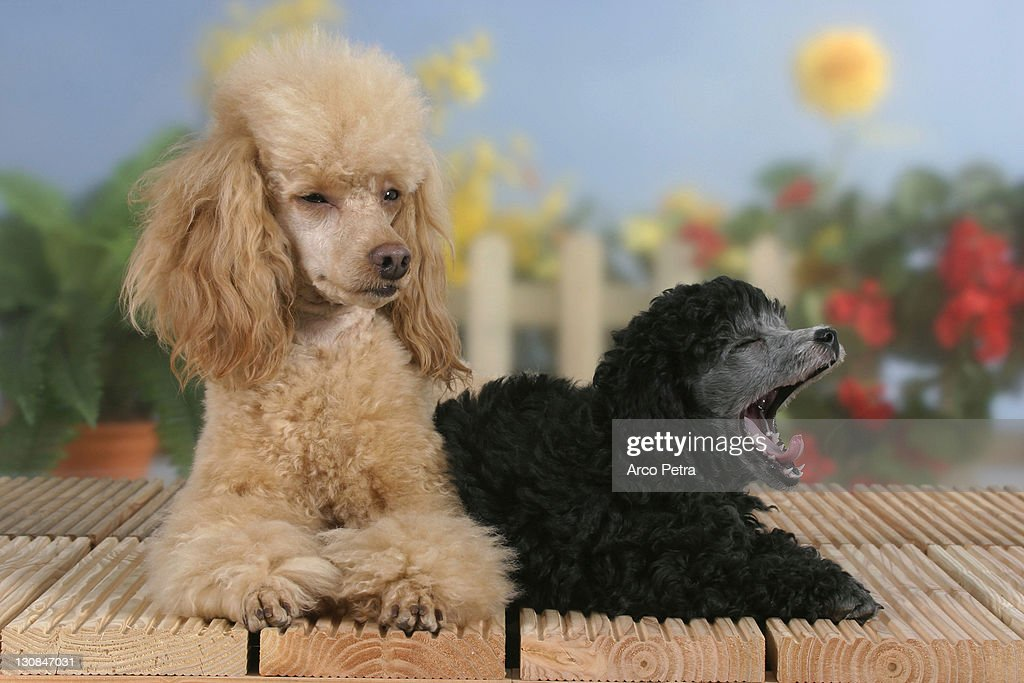 Miniature Poodle Apricot With Puppy 9 Weeks Silver High Res Stock Photo Getty Images