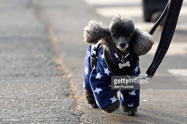 A miniature poodle arrives with its owner on the second day of Crufts Dog Show on March 11 2016 in Birmingham England First held in 1891 Crufts is...