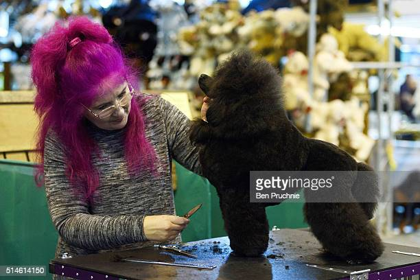 A miniature poodle is groomed by its owner on the first day of Crufts Dog Show on March 10 2016 in Birmingham England First held in 1891 Crufts is...