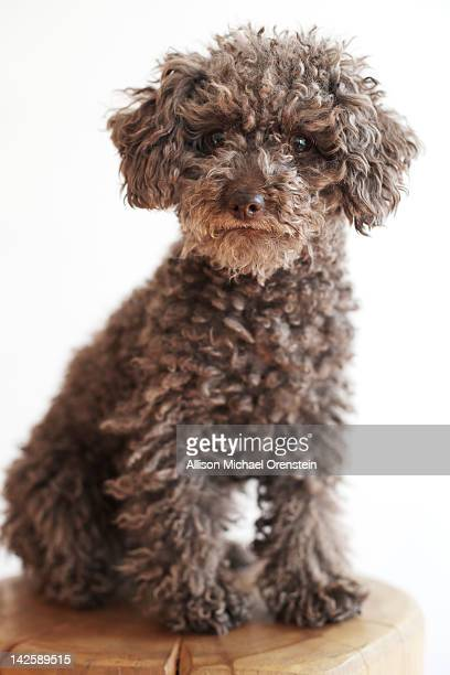 miniature poodle sitting on wooden block - miniature poodle stock photos and pictures